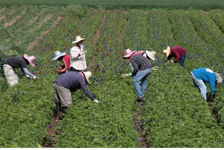 Foreign workers pick flowers