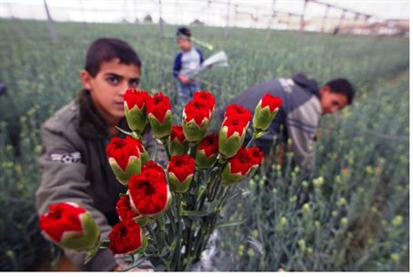 Gaza flowers grown for export