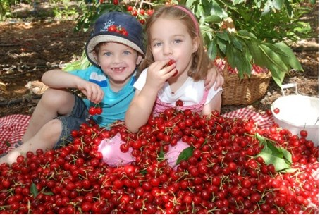 Bounty year for cherries in Israel