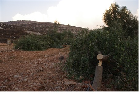 Jewish olive grove destroyed in Shomron
