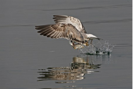 Bird catches fish from the Kinneret
